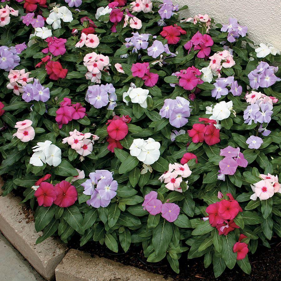Cora® Mix Vinca Flower Seeds Image