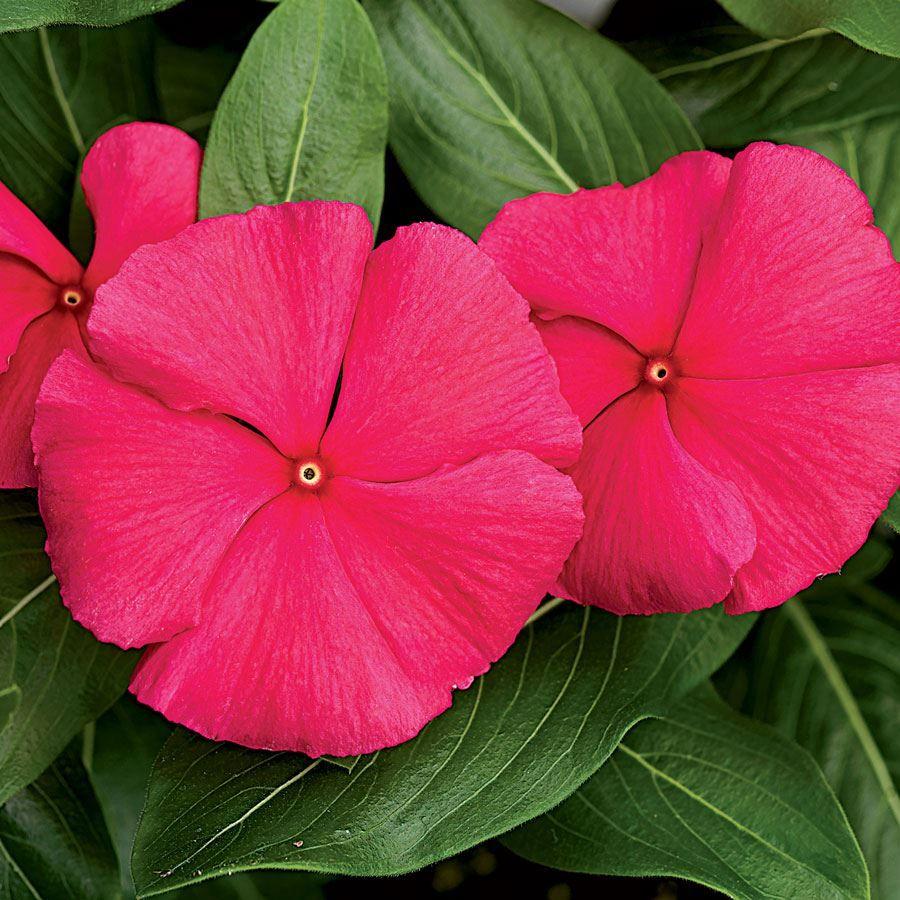 Cora® Punch Vinca Flower Seeds Image