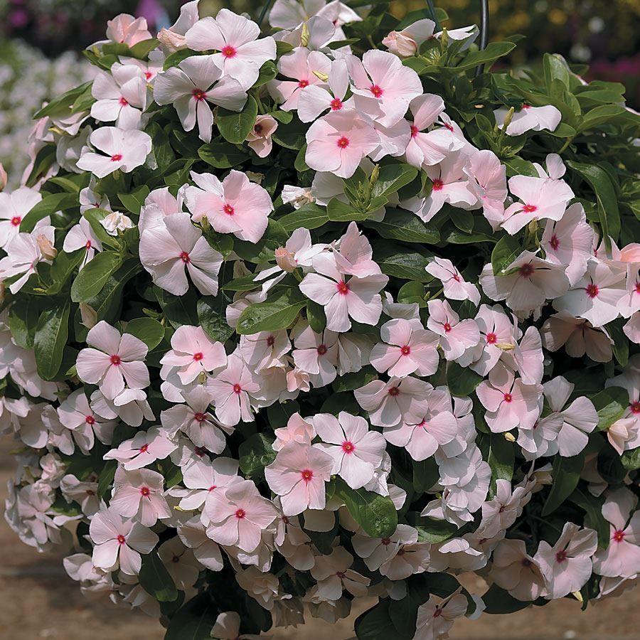 Cora® Cascade Peach Blush Vinca Flower Seeds Image