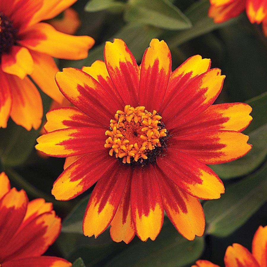 Zahara® Sunburst Zinnia Seeds Image