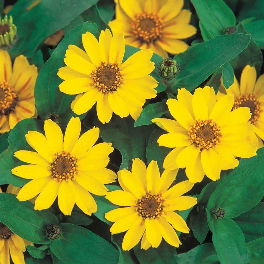 Profusion Yellow Zinnia Seeds Image