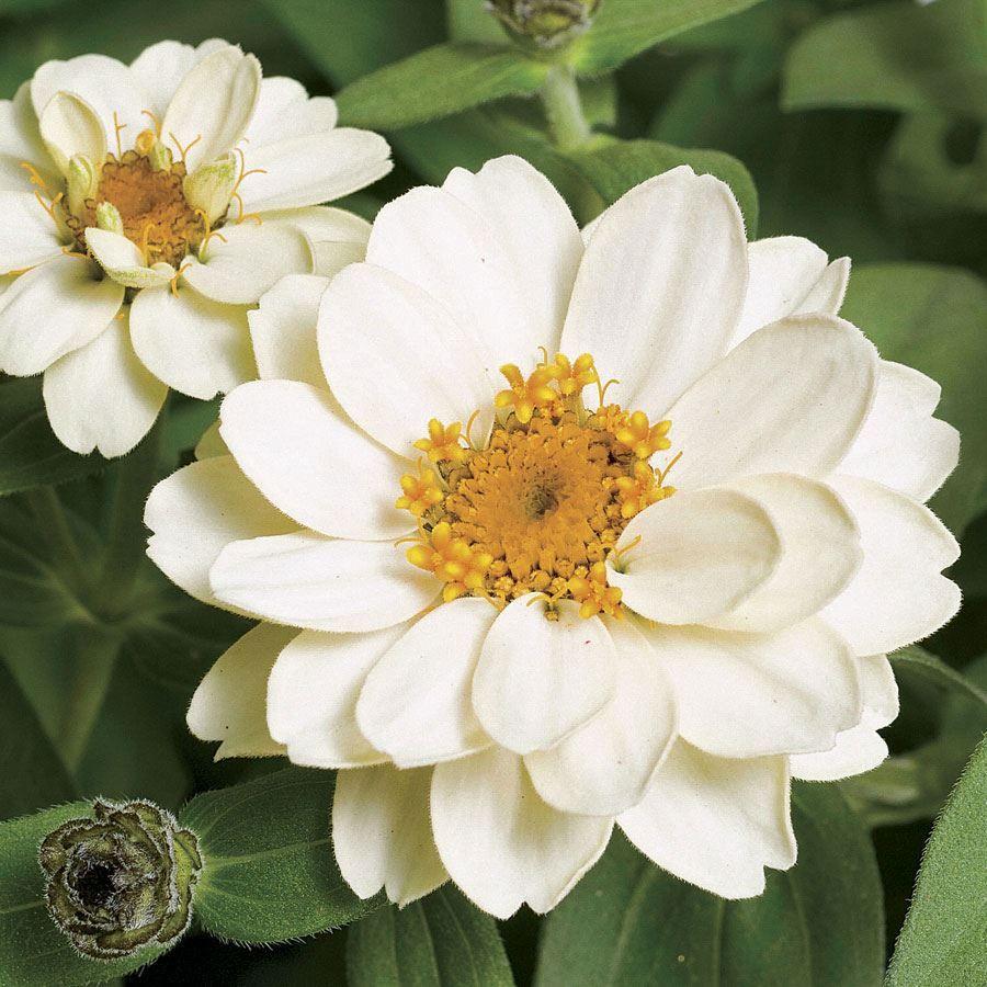 Profusion Double White Zinnia Seeds Image