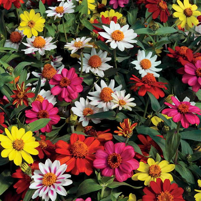 Zahara® Mix Zinnia Seeds Image