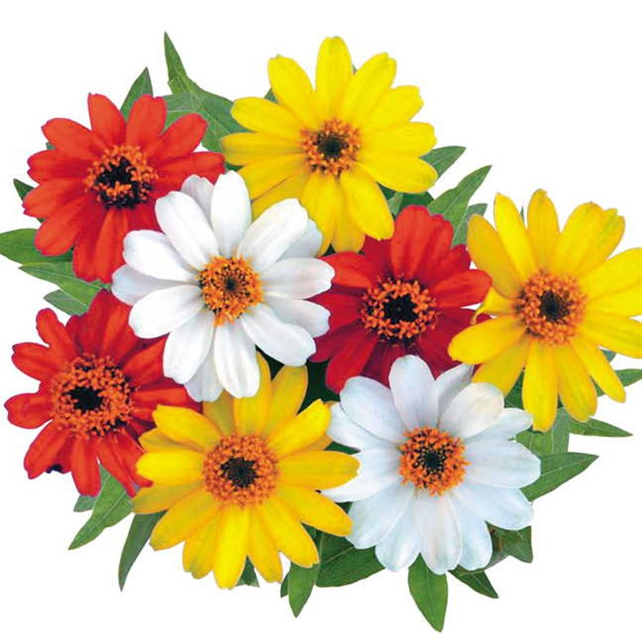 Profusion Sunrise Mix Zinnia Seeds Image