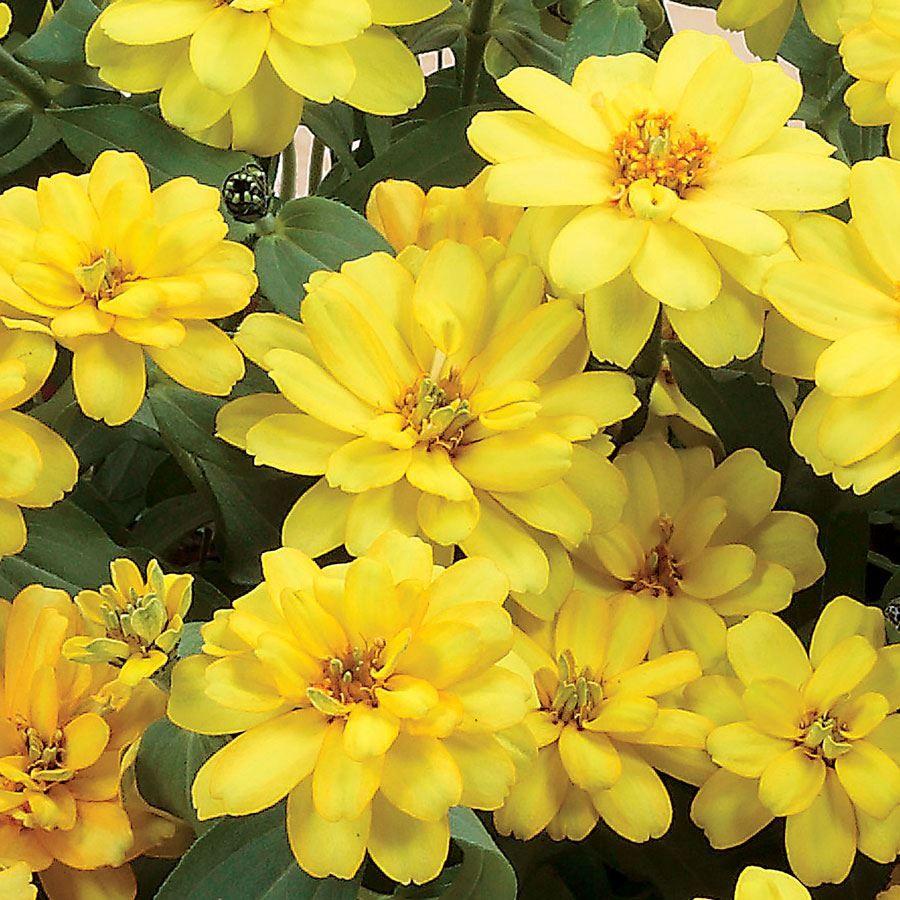 Profusion Double Yellow Zinnia Seeds Image
