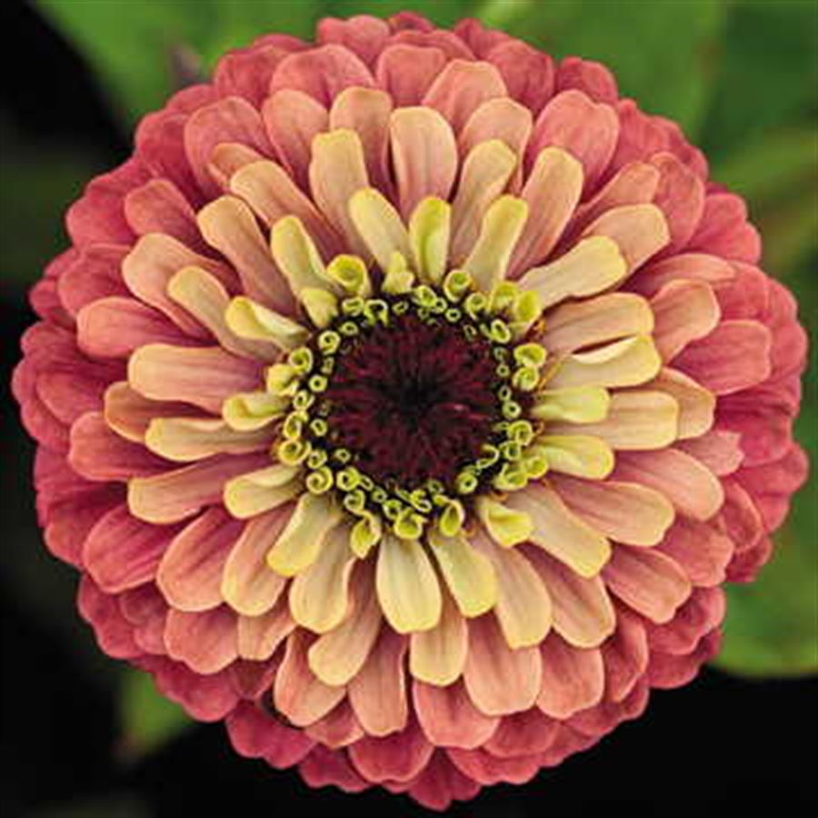 Queeny Lime Red Zinnia Seeds Image