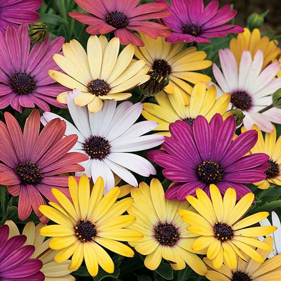 Akila® Grand Canyon Mix Osteospermum Seeds Image