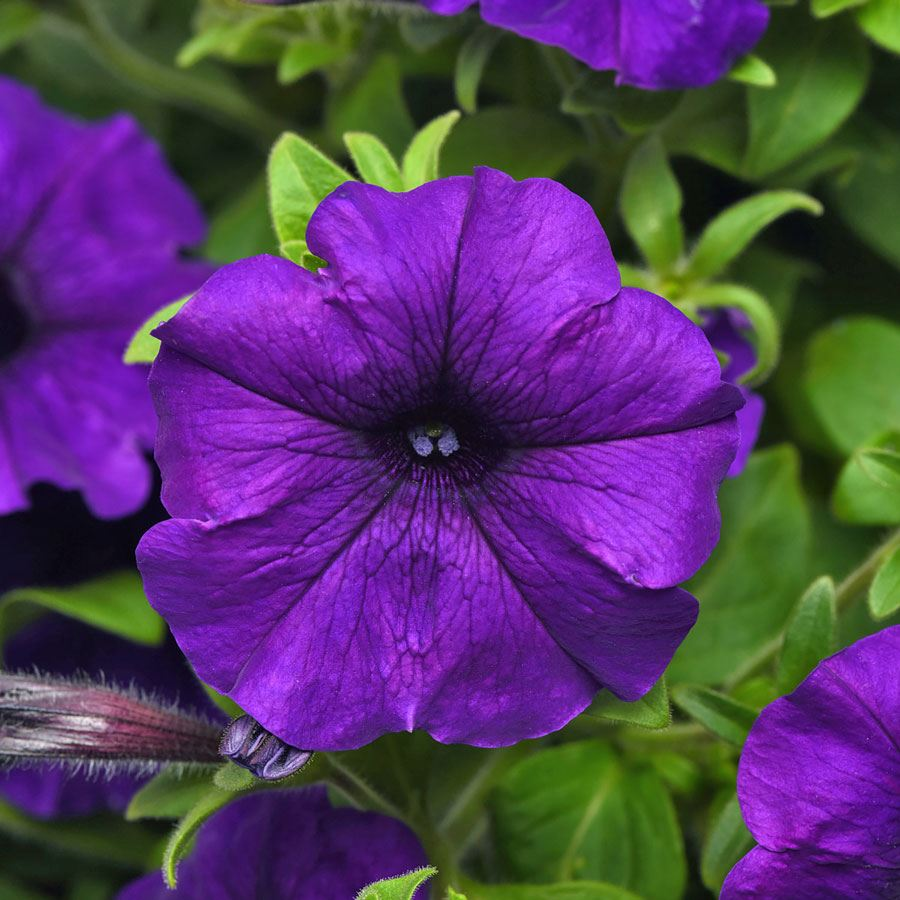Combo Blue Petunia Seeds Image