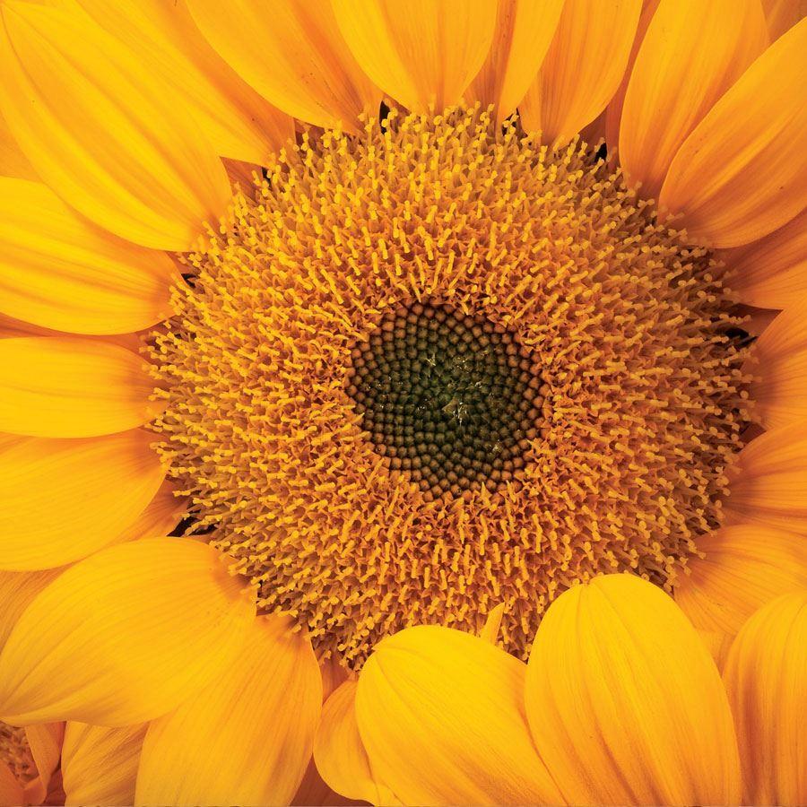 Vincent's® Fresh Hybrid F1 Sunflower Seeds Image