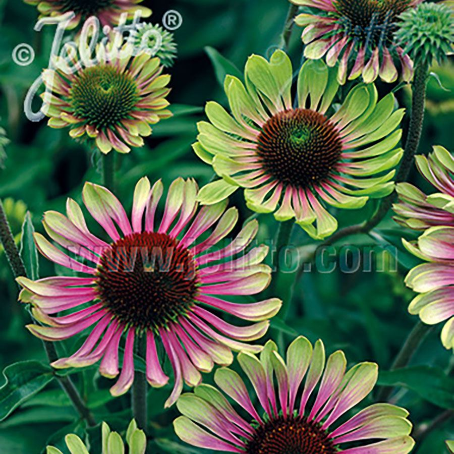 'Green Twister' Coneflower Seeds Image