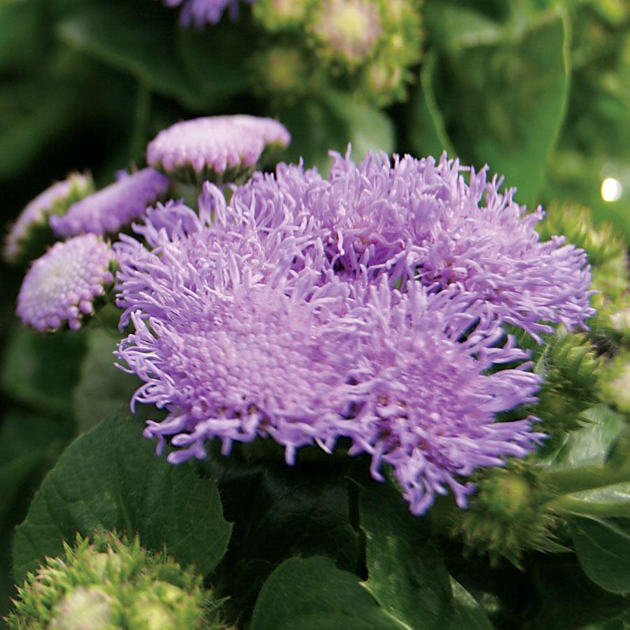 North Sea Ageratum Seeds Image