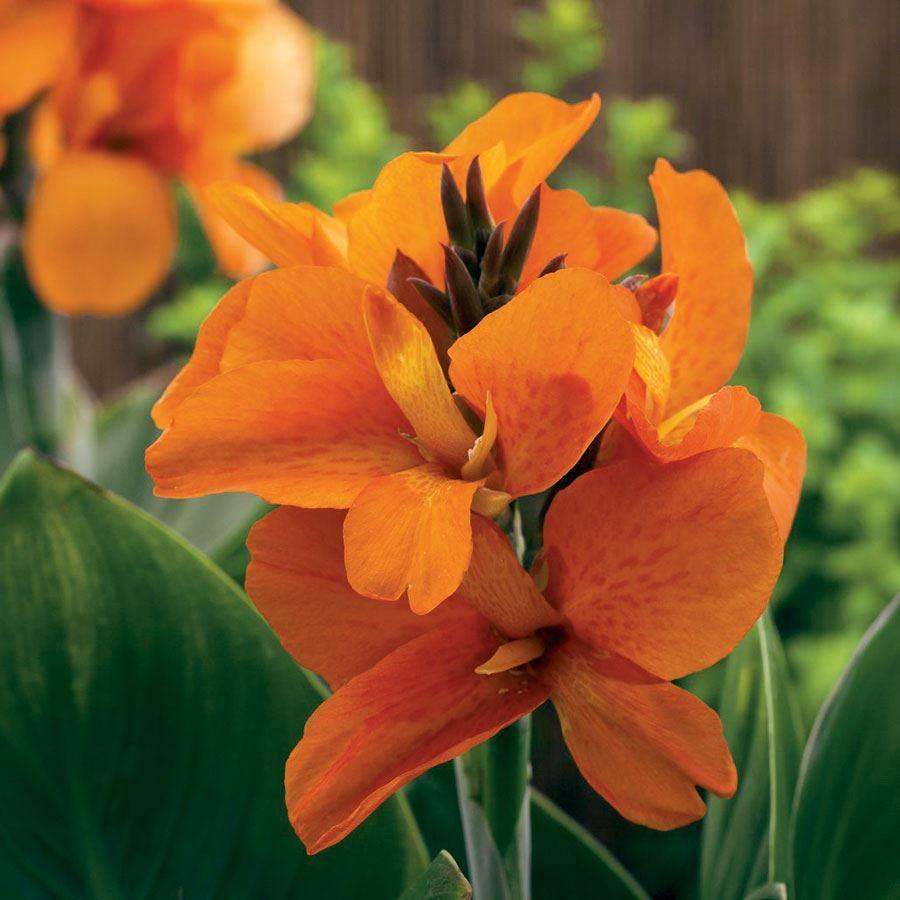 South Pacific Orange Canna Seeds Image