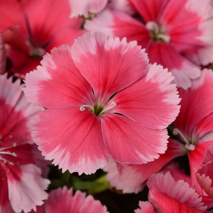 Coronet™ Strawberry Dianthus Seeds Image