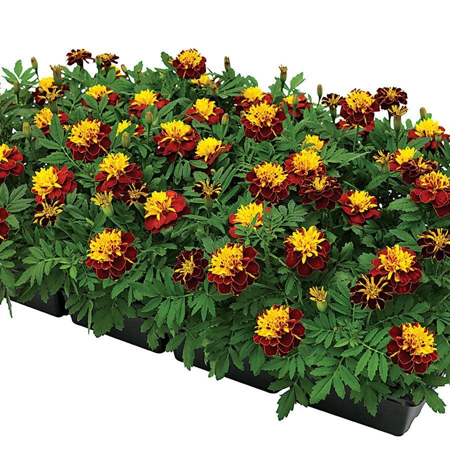 Super Hero™ Spry Marigold Seeds Image