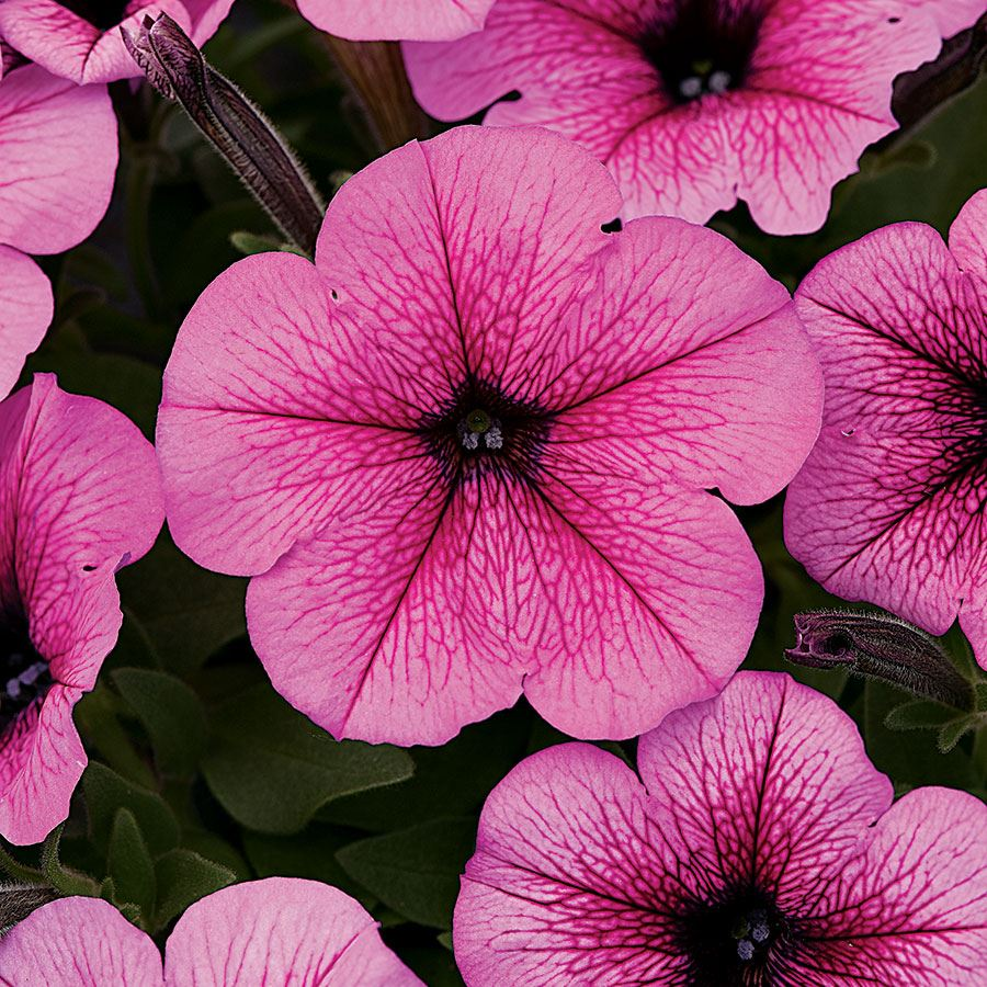 Easy Wave® Rose Fusion Petunia Seeds Image