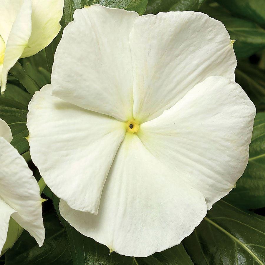 Cora® Cascade White Hybrid Vinca Seeds Image