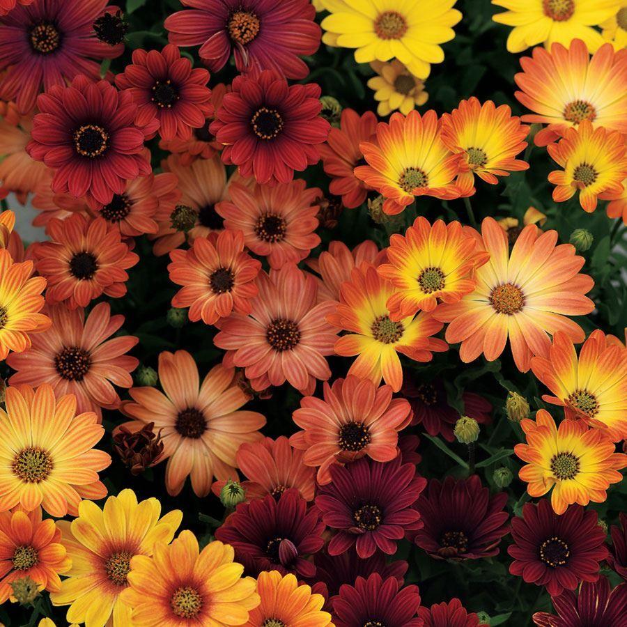 Akila® Sunset Shades Osteospermum Seeds Image