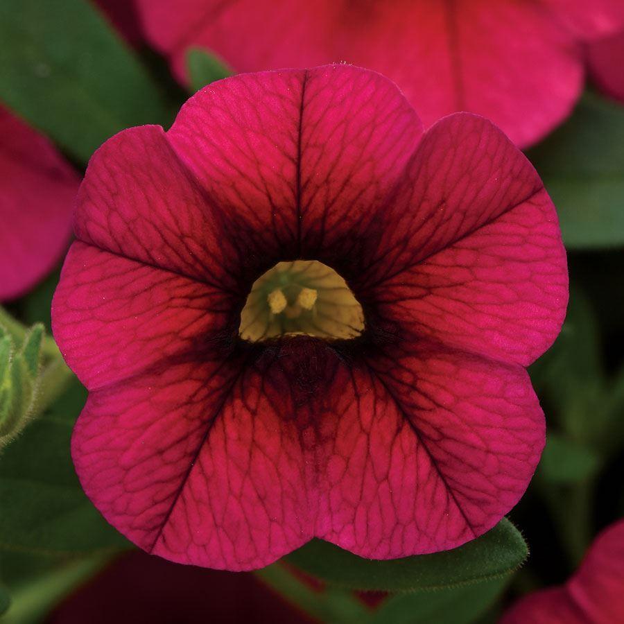 Kabloom® Cherry Calibrachoa Seeds Image