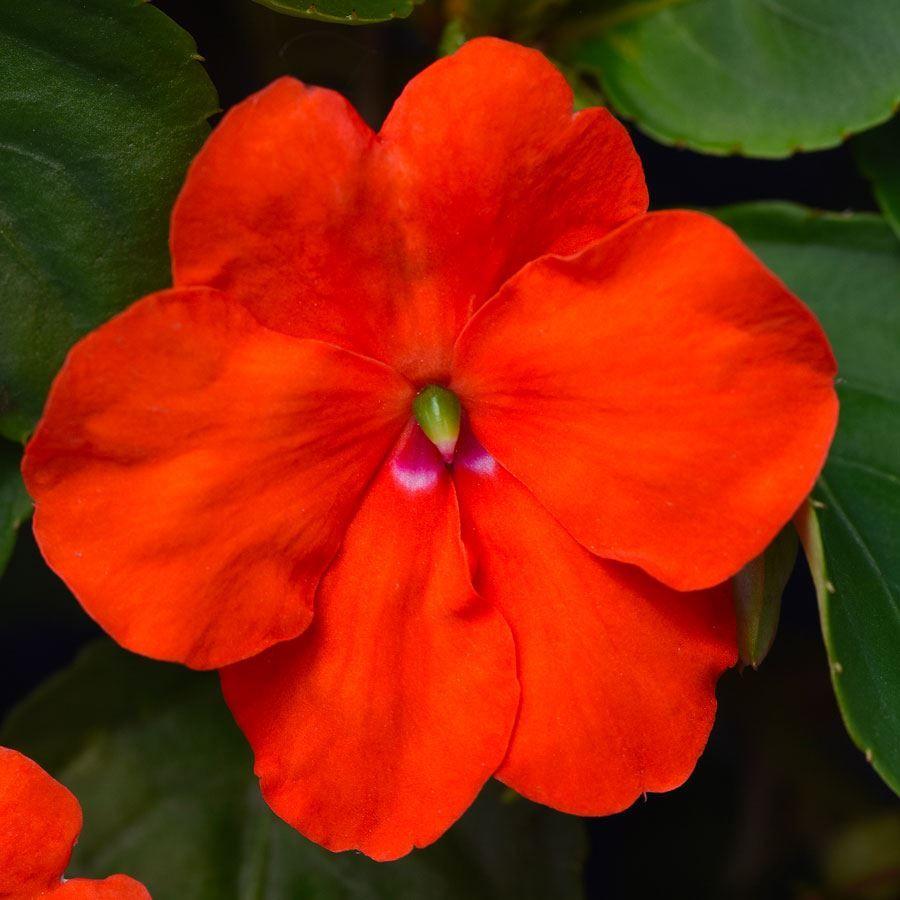 Beacon® Orange Hybrid Impatiens Seeds Image