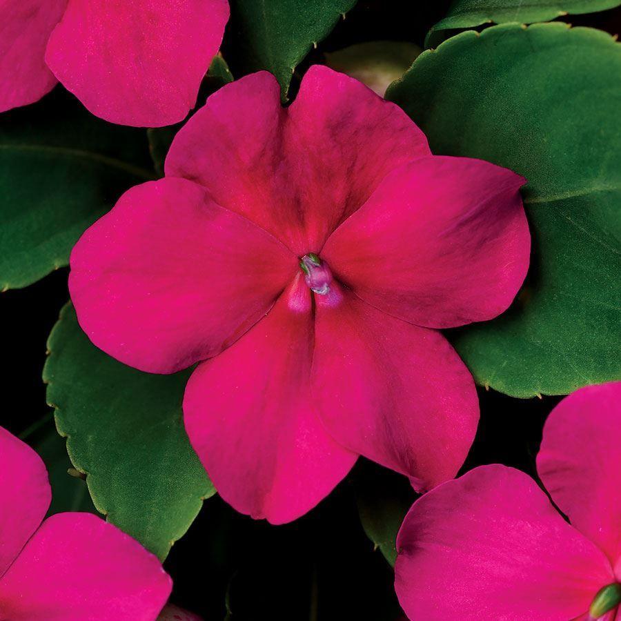 Beacon® Violet Shades Impatiens Seeds Image