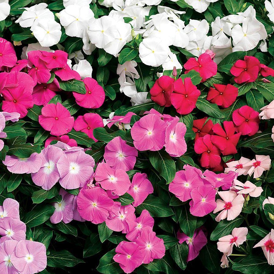 Cora® XDR Mix Vinca Seeds Image