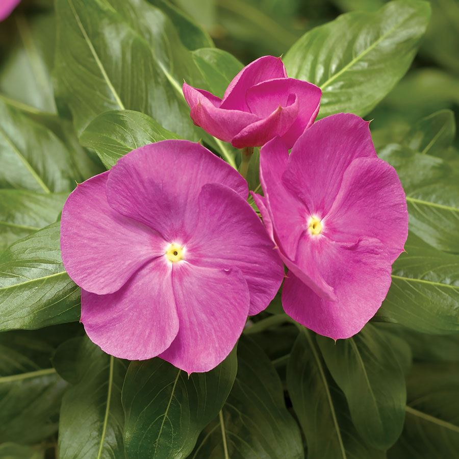 Cora® XDR Orchid Vinca Seeds Image