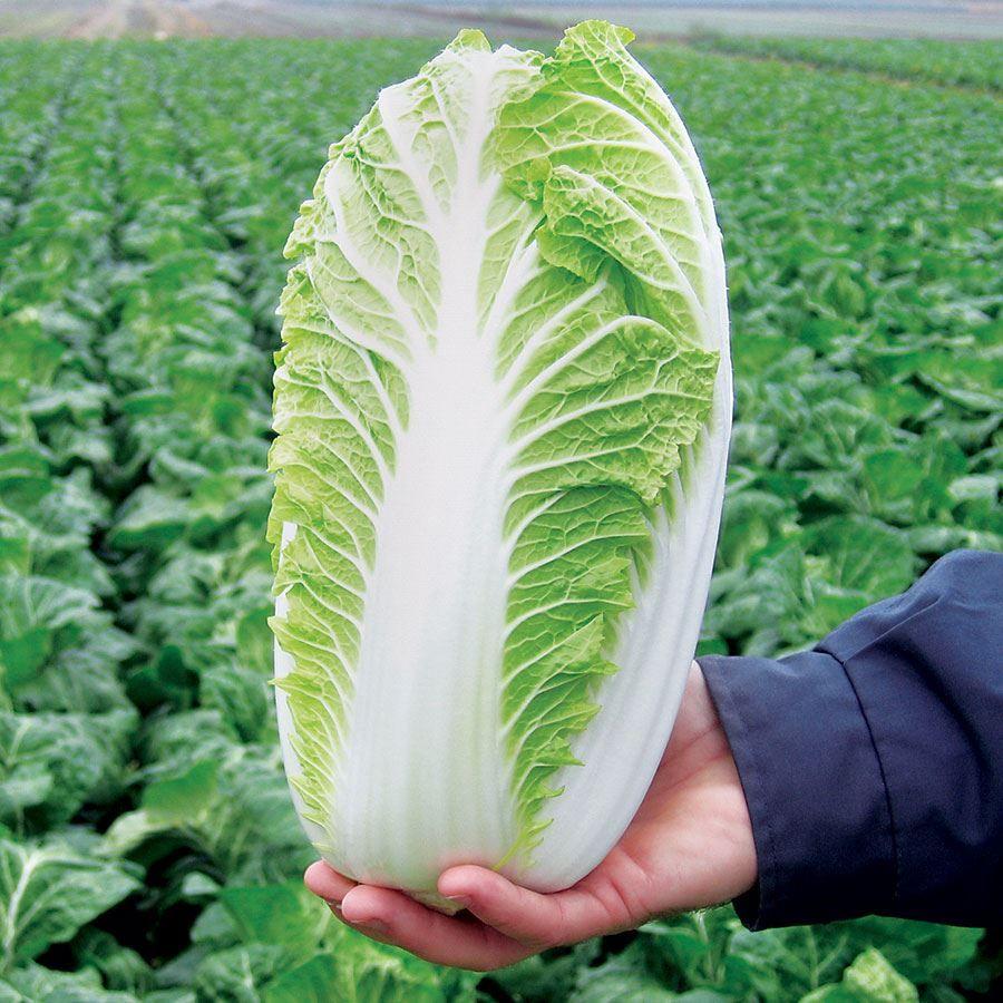 Emiko Hybrid Organic Chinese Cabbage Seeds Image