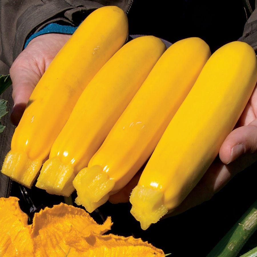 Yellowfin Organic Hybrid Squash Seeds Image
