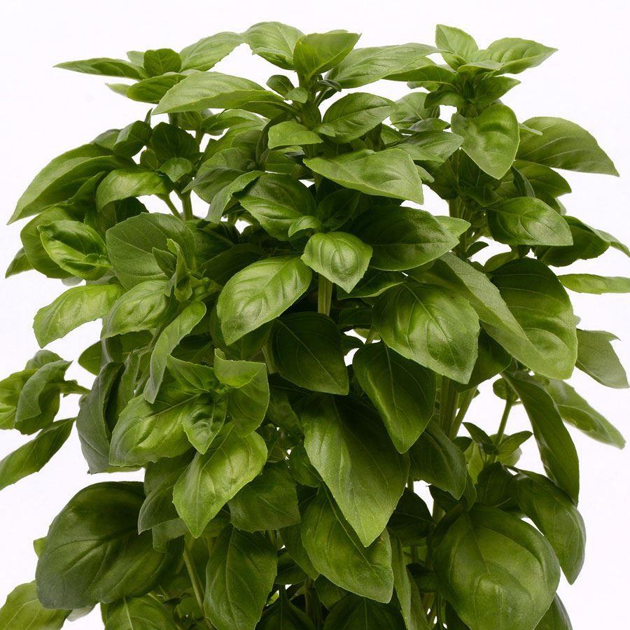 Everleaf Genovese Basil Seeds Image