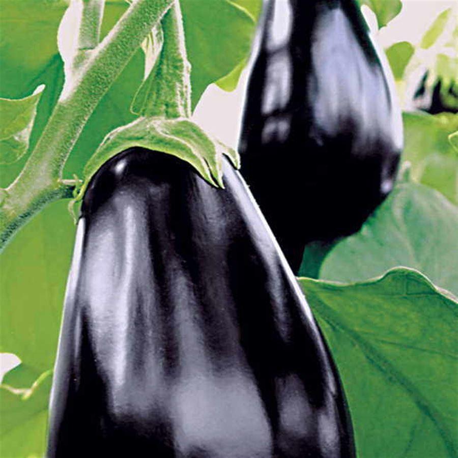 Amadeo Eggplant Seeds Image