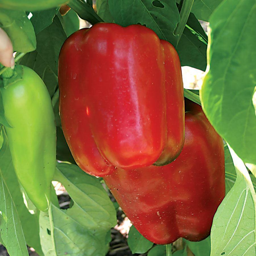 Snapper Hybrid Pepper Seeds Image