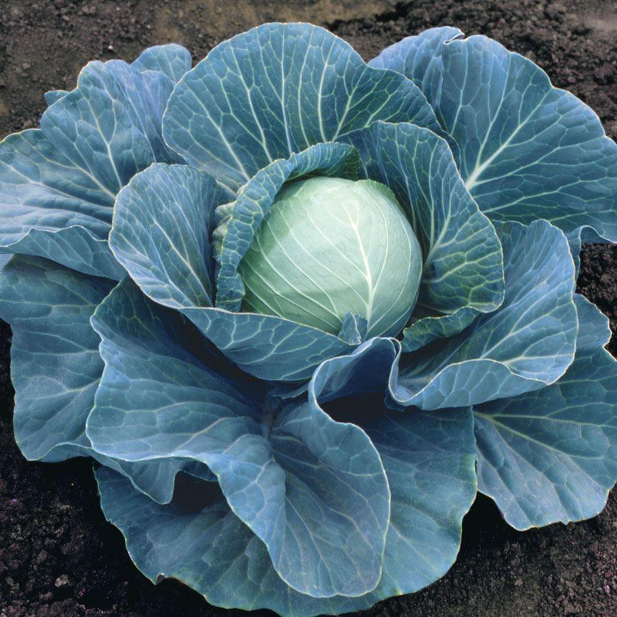 Stonehead Hybrid Cabbage Seeds Image