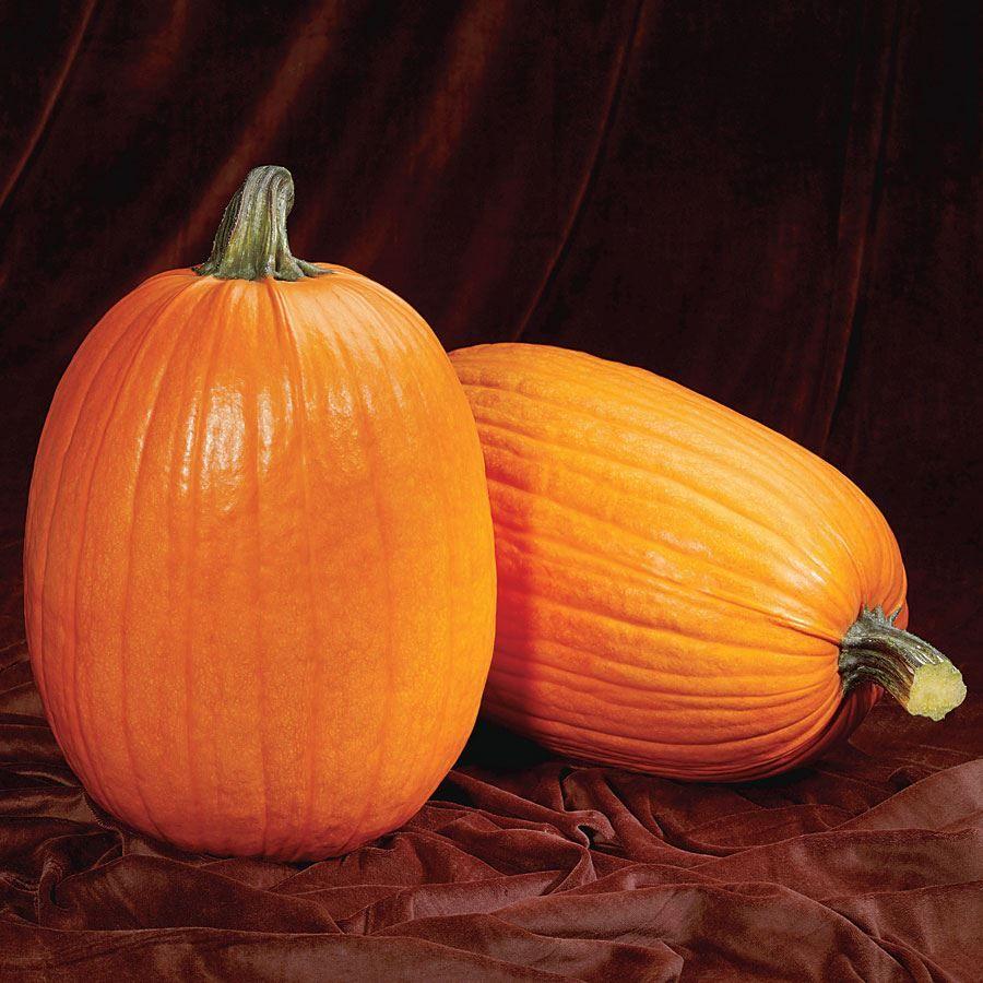 Captain Jack Hybrid Pumpkin Seeds Image